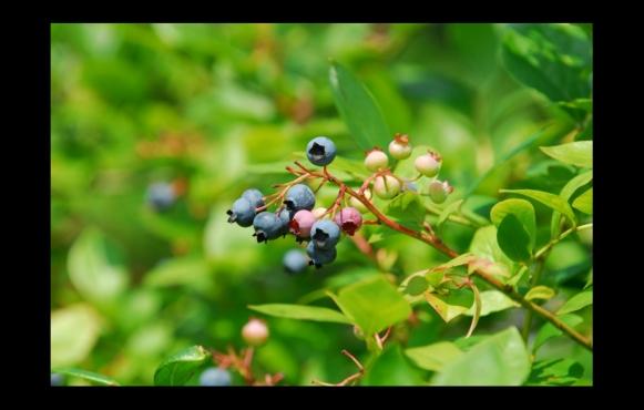 blueberry, blueberries